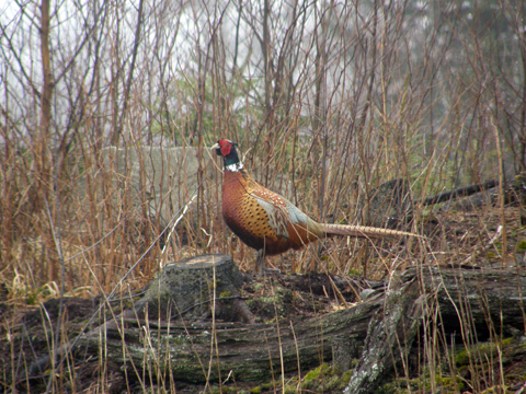 A Pheasant In The Woods