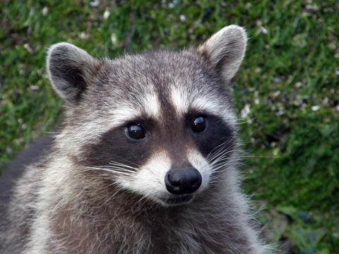 An Inquiring Racoon