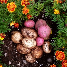 2013_09_23_harvesting_the_last_of_our_potatoes_01