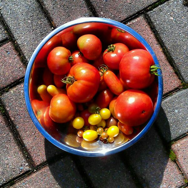 2013_09_23_this_mornings_tomato_harvest_01