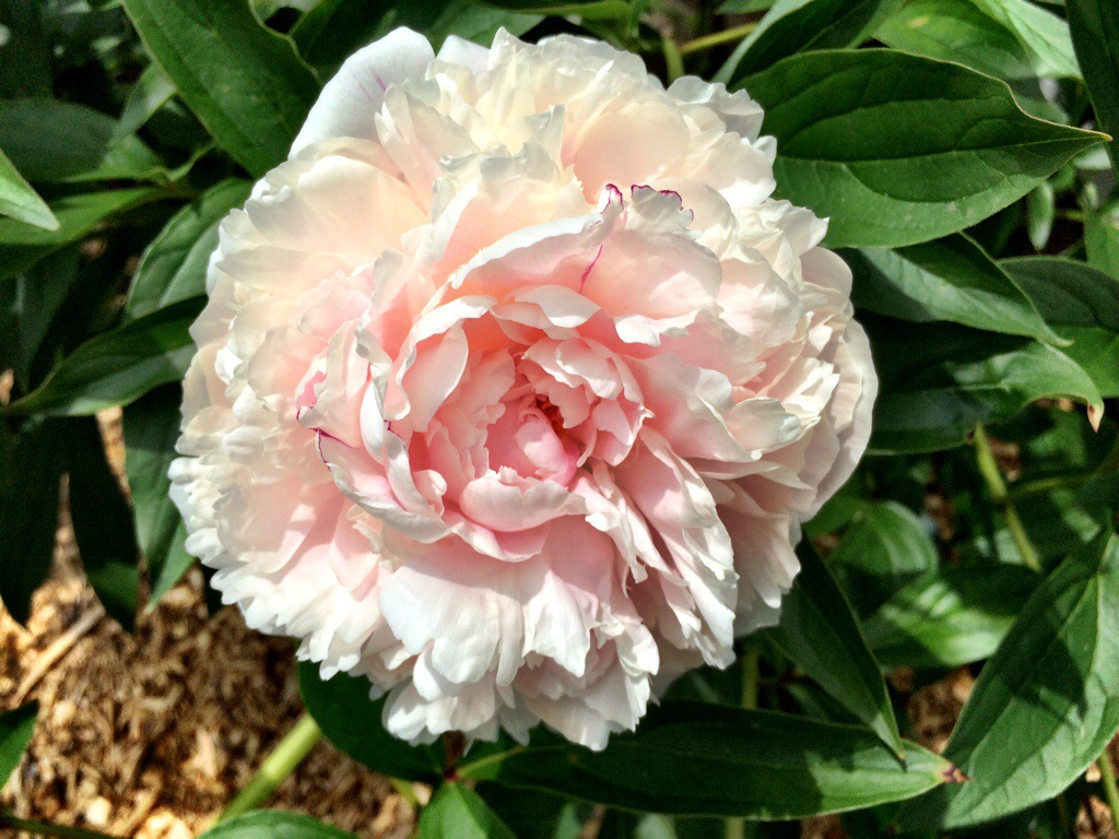 beautiful peonies flowering