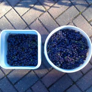 We See Brandywine Grape Jelly!