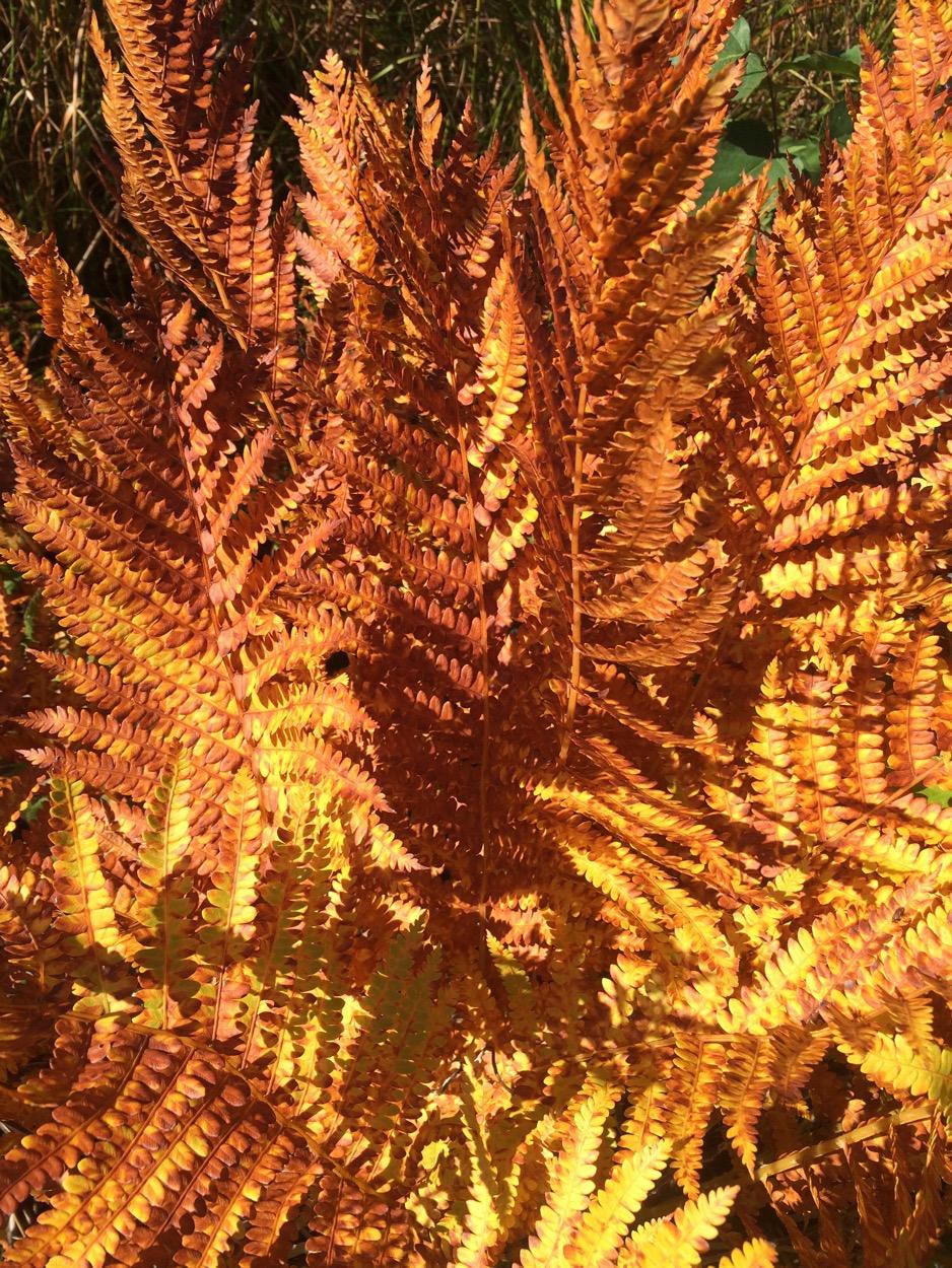 rust coloured ferns