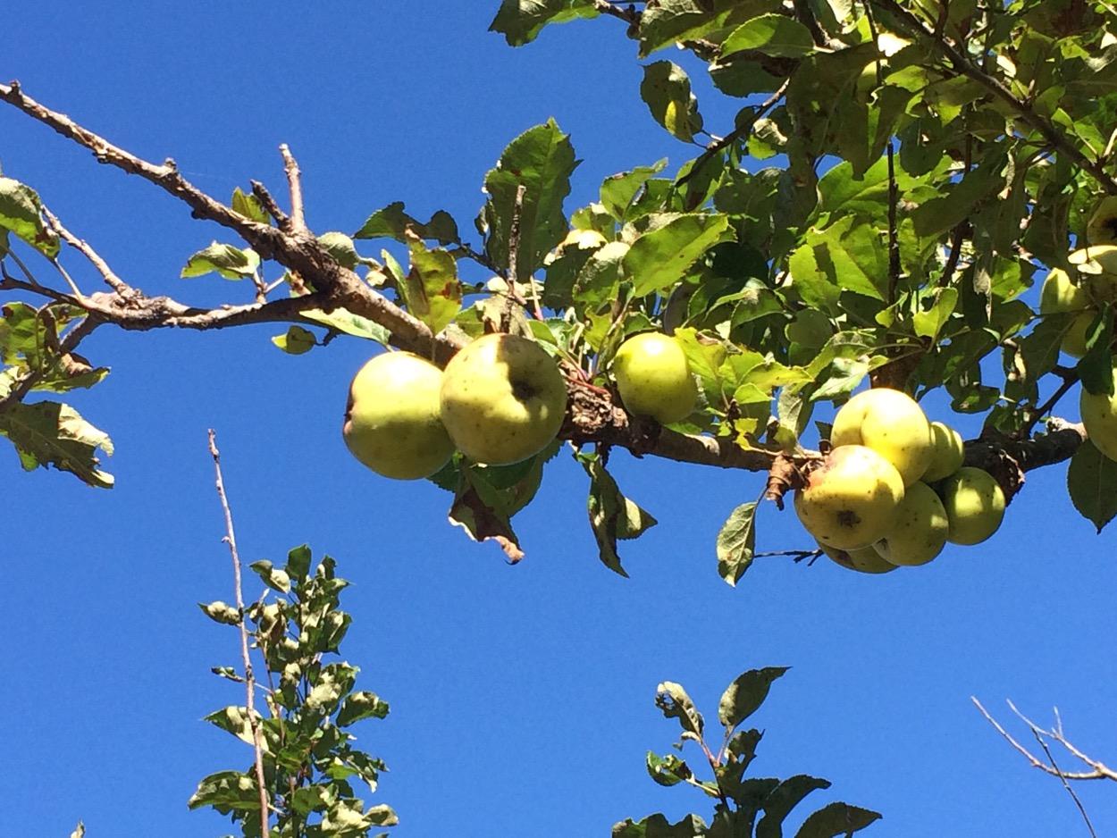 Costley Farm Trailapple tree